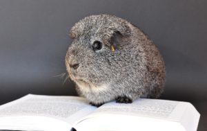 guinea-pig-640495_1920